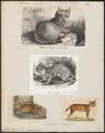 Felis lynx - 1700-1880 - Print - Iconographia Zoologica - Special Collections University of Amsterdam - UBA01 IZ22100346.tif