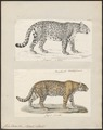 Felis onca - 1700-1880 - Print - Iconographia Zoologica - Special Collections University of Amsterdam - UBA01 IZ22100180.tif