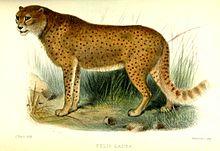 Illustratie van de wolharige cheetah (Felis lanea) gepubliceerd in de Proceedings of the Zoological Society of London in 1877