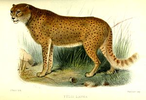 South African cheetah - An illustration of the woolly cheetah (Acinonyx jubatus lanea) by Joseph Smit in the Proceedings of the Zoological Society of London, 1877.