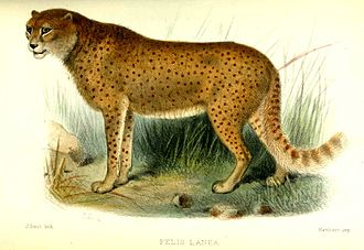 "An illustration of the ""woolly cheetah"" (Felis lanea) from the Proceedings of the Zoological Society of London (1877) Felisjubatus.jpg"