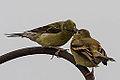 Female Adult American Goldfinch Feeding Fledgling (9354893431).jpg