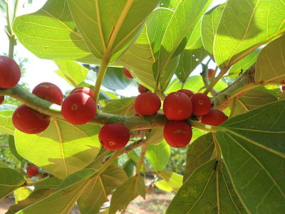 Ficus benghalensis banyan fruit IGZoo park Visakhapatnam.JPG