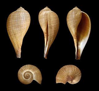 <i>Ficus</i> (gastropod) genus of molluscs
