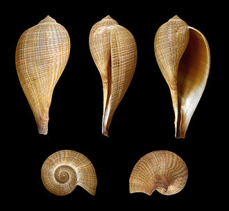 Ficus (gastropod) - Five views of a shell of Ficus gracilis