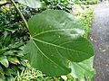 Ficus palmata 01 leaf by Line1.jpg