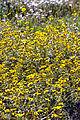 Field of daisies (6255667258).jpg