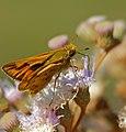 Fiery Skipper (Hylephila phyleus) (30900501914).jpg