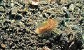 Fire Worm (Chloeia flava) - Makawide, Lembeh Strait, Sulawesi, Indonesia.jpg