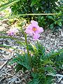 Fleur rose 4.jpg