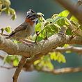 Flickr - Dario Sanches - TICO-TICO (Zonotrichia capensis ) (5).jpg