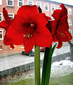Flickr - Per Ola Wiberg ~ mostly away - amaryllis still blooming.jpg