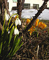 Flickr - Per Ola Wiberg ~ mostly away - first crocus and snowdrops 2010.jpg