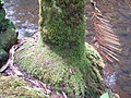 Flickr - brewbooks - Adventitious roots - Archontophoenix alexandrae (with unknown moss).jpg