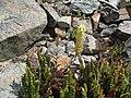 Flickr - brewbooks - Castilleja elmeri and Polystichum lemmonii- descending from Long's Pass.jpg