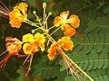 Flor de uma Mini Flamboyant Caesalpinia pulcherrima (2).jpg