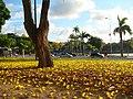 Flores dos Ipês amarelo - panoramio.jpg