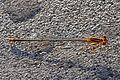 Florida Bluet - Enallagma signatum, Anhinga Trail, Everglades National Park, Homestead, Florida - 8257032901.jpg