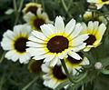 Flower Nymans Garden (NT) (6978452322).jpg