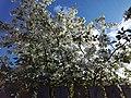 Flowering Ranetki.jpg