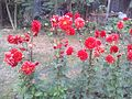 Flowers from Jagannath Hall, DU.jpg
