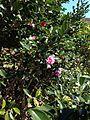 Flowers of camellia sasanqua 20151025.jpg