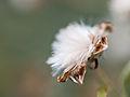 Fluffy flower (9516943027).jpg