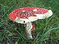 Fly agaric - geograph.org.uk - 238795.jpg