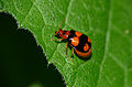 Four-spot Leaf Beetle (Sonchia sternalis) (16461176871).jpg