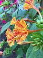 Four O'clock flower.jpg