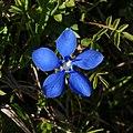 Frühlings Enzian Gentiana verna 06.JPG