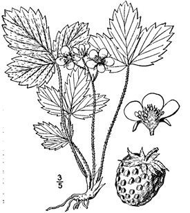 Fragaria virginiana Duchesne Virginia strawberry.tiff