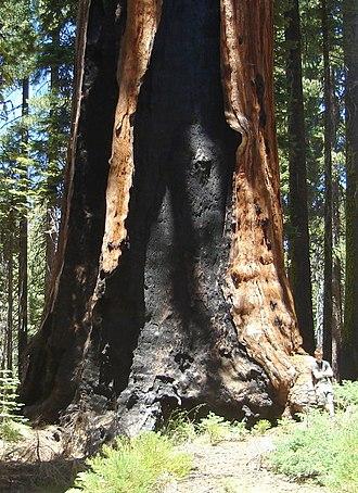 Franklin (tree) - Franklin Tree