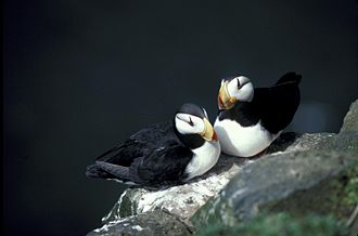 Horned puffin - Note the lack of sexual dimorphism in this breeding pair on a rocky ledge.