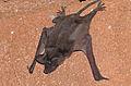 Free-tailed Bat (Tadarida sp.) (16564302018).jpg