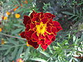 French Marigold - Flickr - Swami Stream.jpg
