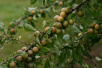 Bullace - Fruit of the White or Golden Bullace, showing the slight blush often found on the sunward side