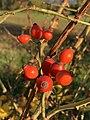 Fruits Églantinier Chemin Fasses - Saint-Cyr-sur-Menthon (FR01) - 2020-10-31 - 7.jpg