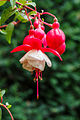 Fuchsia 'Alwin' 01.jpg