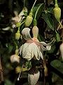 Fuchsia 'sophie michels'.JPG