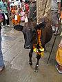Gai Jatra Kathmandu Nepal (5116103935).jpg