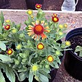 Gaillardia-arizona-red-shades-IMG 3790-99.jpg