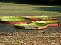 Gaint Lily scape I IMG 5847.jpg
