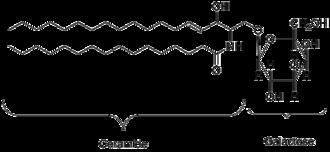 Galactocerebroside - A galactocerebroside