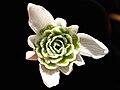 Galanthus nivalis 'flore pleno' 1.JPG