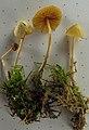 Galerina dimorphocystis A.H. Sm. & Singer 315069.jpg
