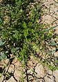Galium verrucosum Beta macrocarpa Sebkhat Kelbia.jpg