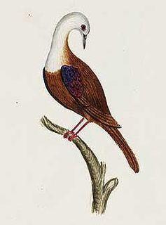 Norfolk ground dove species of bird