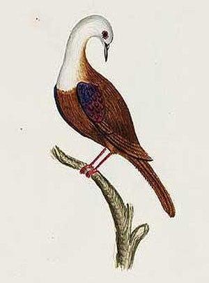 Norfolk ground dove - Image: Gallicolumba norfolciensis
