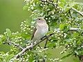 Garden Warbler, UNESCO Biosphere Reserve Swabian Alb, Germany.jpg